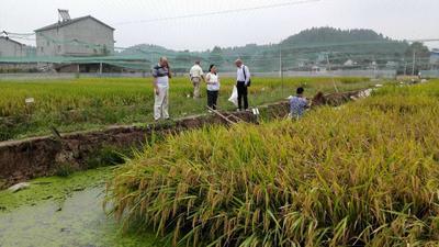 四川德阳罗江县生态泥鳅 5-8cm 人工养殖