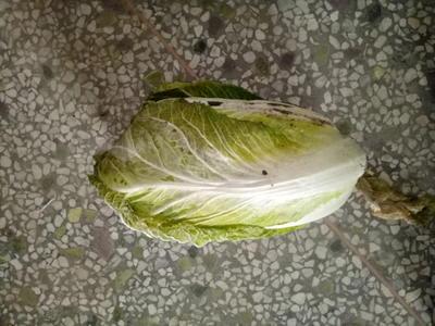 陕西省渭南市蒲城县秦杂二号大白菜 1~2斤 毛菜