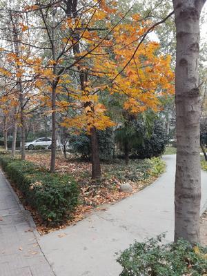 陕西咸阳渭城区七叶树