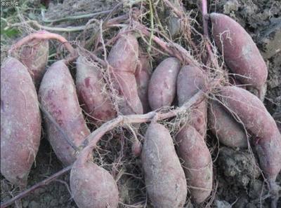 陕西渭南澄城县紫罗兰紫薯 3两以上