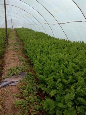 陕西省咸阳市泾阳县美国文图拉芹菜 50~55cm 大棚种植 0.5~1.0斤