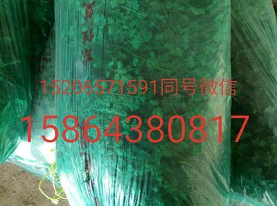 山东省聊城市莘县中叶铁杆青 20~25cm