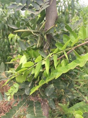 河南洛阳偃师市皂角树