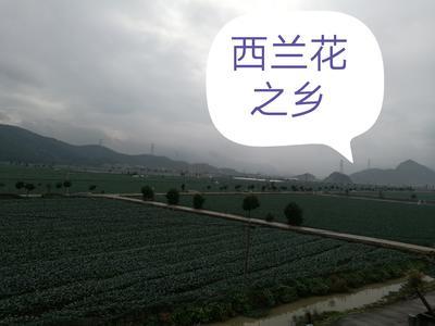 浙江省台州市三门县炎秀西兰花 0.5~0.8斤 10~15cm