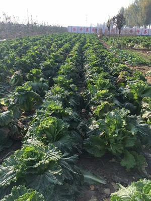河北省衡水市桃城区青麻叶大白菜 3~6斤 净菜