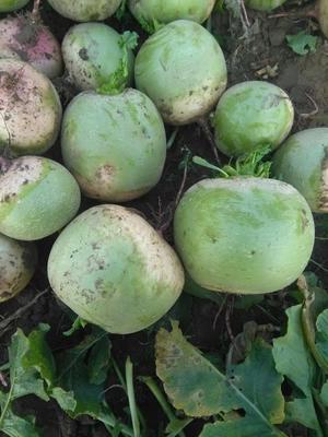 山东省泰安市肥城市心里美萝卜 1~1.5斤