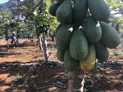 广西南宁西乡塘区大白木瓜 1.5 - 2斤