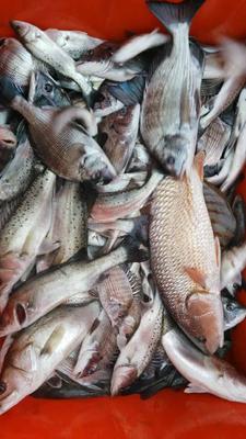 浙江温州瑞安市海鲈鱼 野生 1-1.5公斤