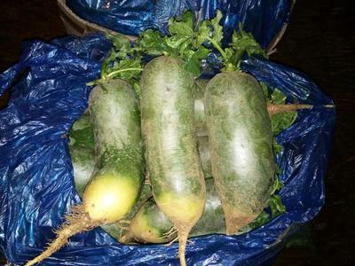 山东省泰安市岱岳区水果萝卜 1~1.5斤