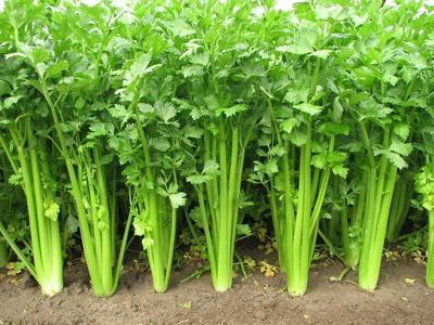 河北省廊坊市固安县美国文图拉芹菜 60cm以上 大棚种植 0.5~1.0斤