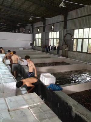 河南信阳浉河区孟加拉国黄鱼善 野生