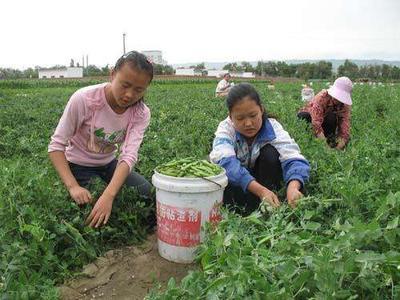 云南保山施甸县长寿仁豌豆 5-7cm 饱满