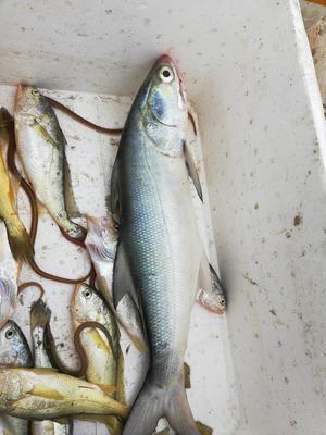 海南海口龙华区小黄鱼 野生 0.5公斤以下