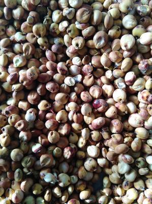 吉林白城大安市红高粱 霉变 ≤1% 1等品