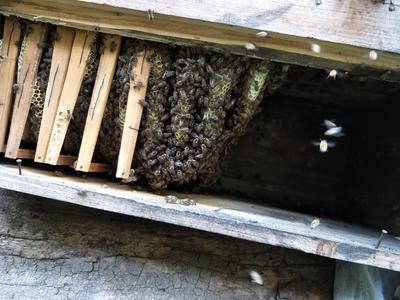 四川达州万源市中蜂