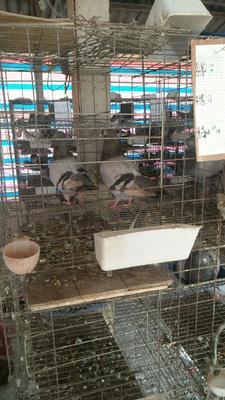 浙江台州椒江区乳鸽 24个月以上 新鲜