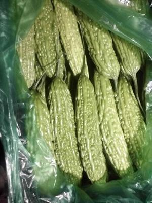 云南玉溪元江哈尼族彝族傣族自治县绿苦瓜 25cm以上 4~6两
