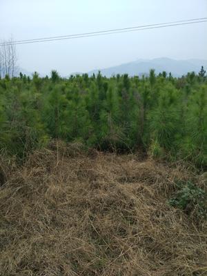 湖北黄冈麻城市湿地松树苗