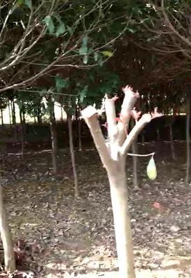 湖南益阳资阳区高杆红叶石楠
