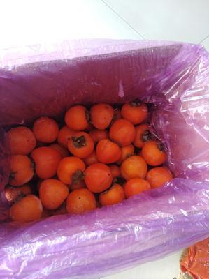 黑龙江省哈尔滨市五常市阳丰甜柿 1 - 2两以上