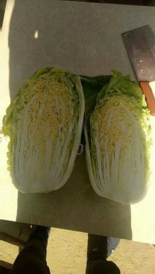河南省南阳市新野县韩国黄心白菜 3~6斤 净菜