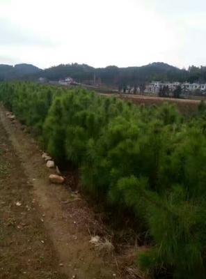 广东省珠海市香洲区湿地松树苗