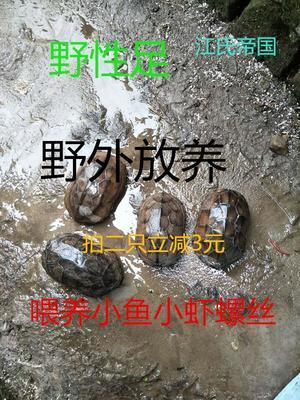 江西上饶弋阳县草龟 50cm以上 2-4斤