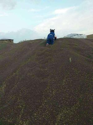 内蒙古赤峰阿鲁科尔沁旗黑小麦