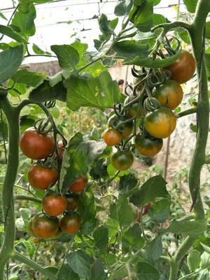 辽宁省大连市庄河市草莓柿子 1 - 2两以上