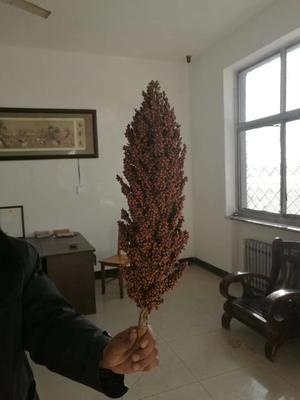 河北省沧州市青县抗四 种子