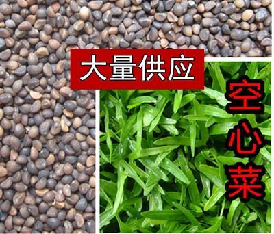 福建宁德古田县空心菜籽