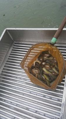 湖南岳阳岳阳楼区台湾泥鳅 10-15cm 人工养殖