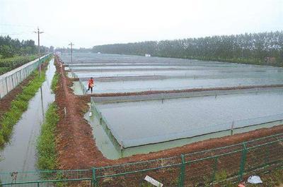 河南郑州中牟县台湾泥鳅 8-10cm 人工养殖
