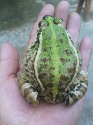 湖北天门天门市青蛙