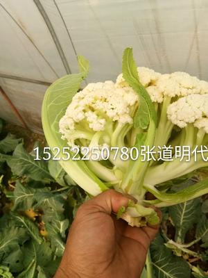 江苏省徐州市沛县白面青梗松花菜 松散 2~3斤 乳白色