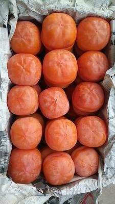 河北省唐山市遵化市磨盘柿子 3 - 4两以上