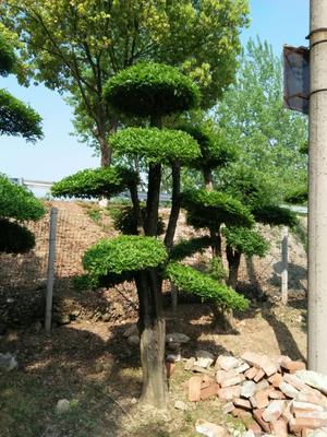 湖北荆门京山县对节白蜡 2.5~3米