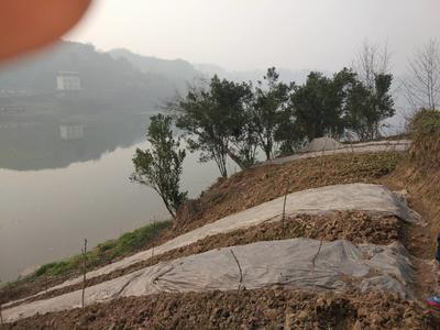 重庆九龙坡区小叶香菜 10~15cm