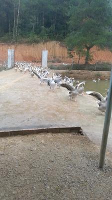 广东省河源市和平县大雁肉丸