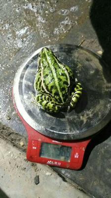 安徽六安寿县黑斑蛙