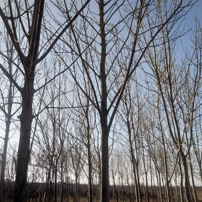 山东滨州沾化区老式白蜡 2~2.5米