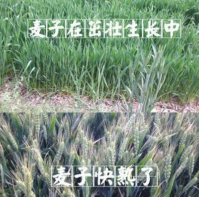 河北石家庄藁城区黑小麦