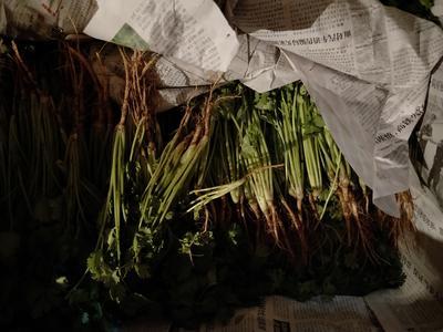 陕西省咸阳市乾县泰国香菜 20~25cm