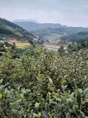 广东梅州平远县茶叶籽油