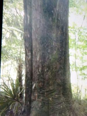 陕西汉中西乡县野生红豆杉 5米以上