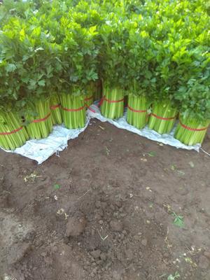河北省廊坊市固安县美国文图拉芹菜 60cm以上 0.5~1.0斤
