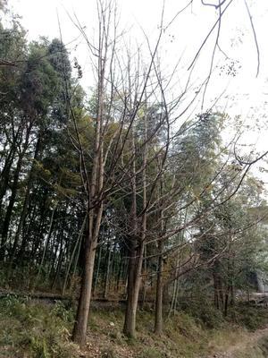 湖南永州零陵区银杏实生树