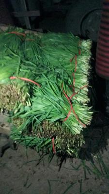 河南省鹤壁市浚县紫根红韭菜 头茬 35~40cm