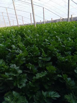 山东省菏泽市定陶县美国西芹 60cm以上 大棚种植 3.0斤以上