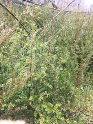 贵州安顺关岭布依族苗族自治县野生红豆杉 1~1.5米